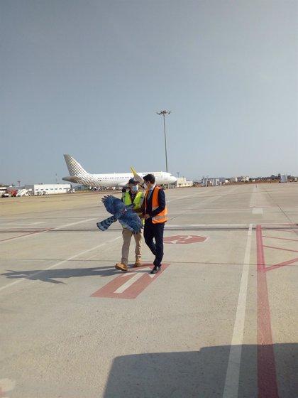 Drones con forma de halcón para controlar la fauna en el aeropuerto de Sevilla