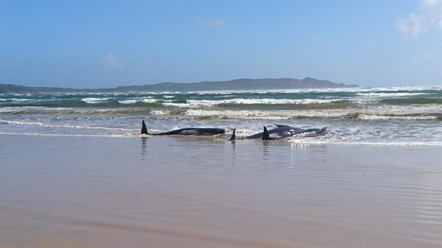 Australia.- Otras 200 ballenas piloto permanecen varadas en Tasmania