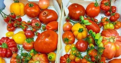 Un proyecto europeo liderado desde València trabaja en tomates con más sabor y resistentes a nuevos virus