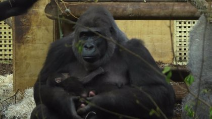 Cabárceno celebra el Día Mundial del Gorila con una charla y un concurso