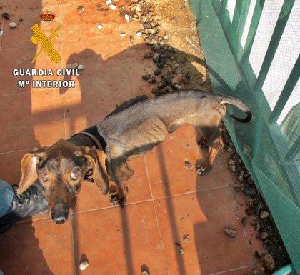Investigado un vecino de Alburquerque por tener un perro en condiciones de extrema delgadez y abandono