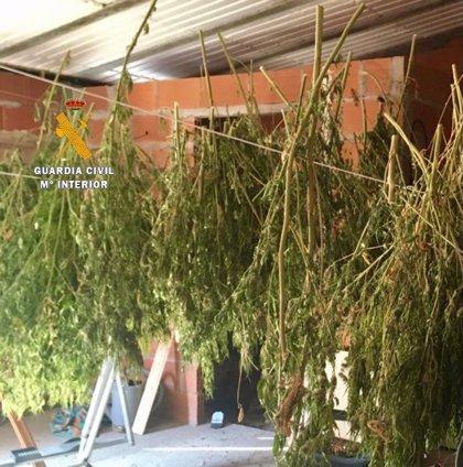 Detenido un vecino de Tiétar tras localizar en su vivienda más de 22 kilos de marihuana en proceso de secado