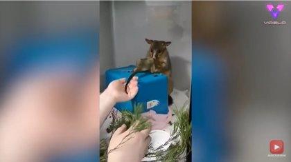 Esta cría de zarigüeya se reencuentra con su madre tras ser rescatada