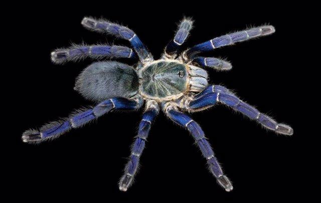 Una tarántula azul cobalto (Hapolpelma lividum), con pelos de color azul cobalto brillante en sus patas.