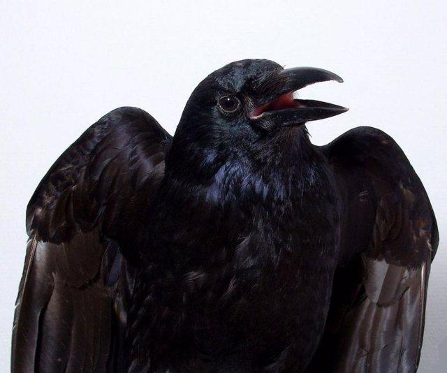 Los cuervos son capaces de percibir conscientemente la información sensorial,