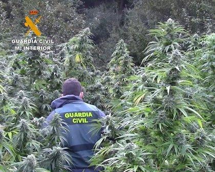 Detenidos dos vecinos de Santo Domingo en un pueblo de Burgos con 415 plantas de marihuana de casi 3,5 metros de altura