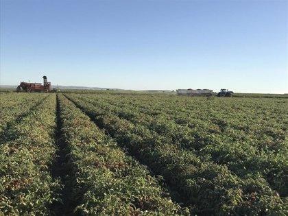 Una empresa de Córdoba diseña un protocolo que aumenta un 10% la producción de tomate de industria