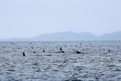 Australia consigue finalmente rescatar a 108 de las ballenas varadas en Tasmania