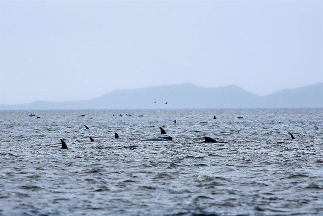 Australia.- Australia consigue finalmente rescatar a 108 de las ballenas varadas