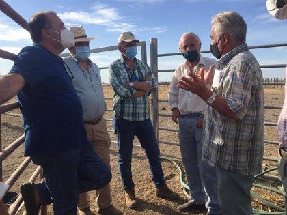 Doñana sanea una cabaña bovina de 2.800 cabezas para mantener su raza