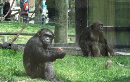 Grave una cuidadora del Zoo de Madrid al ser atacada por un gorila