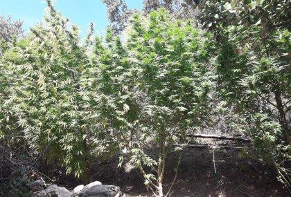 Policía Foral localiza un centenar de plantas de marihuana en Riezu