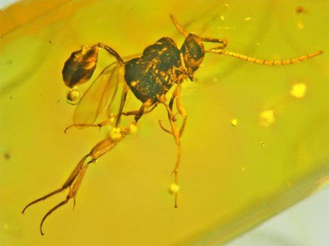Nuevas especies de avispa insignia halladas en ámbar dominicano