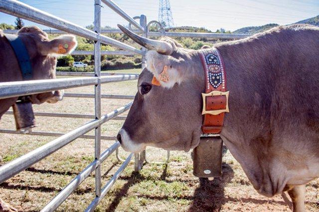 Pla de detall del cap d'una vaca que va participar a la Fira ramadera de la Pobleta de Bellveí l'any 2019. (horitzontal)