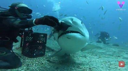 Esta mujer alimenta con su mano a un grupo de tiburones tigre como si nada