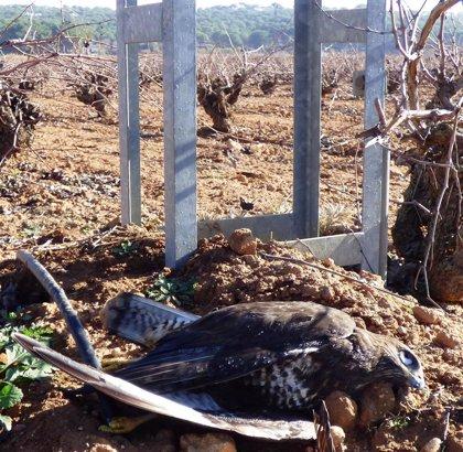 Científicos denuncian que el 86% de las aves muertas por colisión con tendidos eléctricos no son detectadas