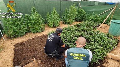 Detenidos dos jóvenes por el cultivo de 300 plantas de marihuana en un paraje apartado de Turís