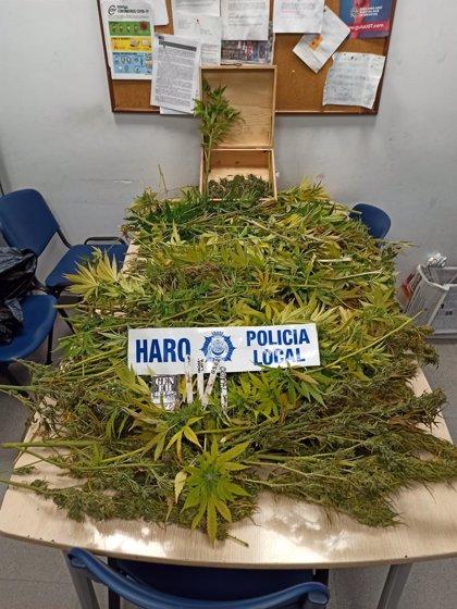 La Policía Local de Haro incauta un centenar de plantas de marihuana en la localidad