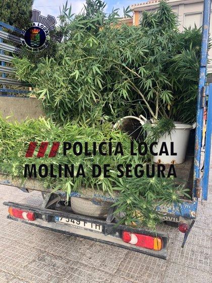 Detenido un joven por cultivar 20 plantas de marihuana en su casa de La Alcayna, en Molina de Segura