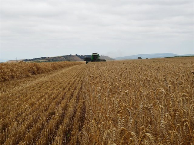 Campo de cereal. Imagen de archivo.