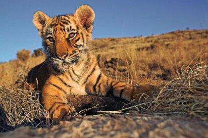 """WWF advierte de que en España hay """"alto riesgo"""" para el tráfico de tigres por la falta de controles """"más estrictos"""""""