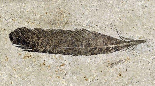 Se confirma 160 años después la especie de la primera pluma fósil