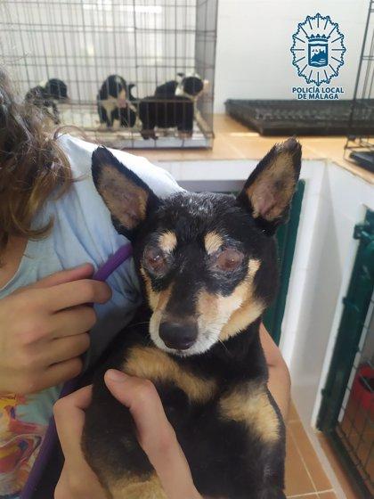 La Policía Local de Málaga denuncia por maltrato animal al dueño de un perro malherido por no proporcionarle cuidados