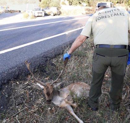 Una conductora herida leve, un gamo muerto y otro herido en dos atropellos en carreteras del oeste de la región
