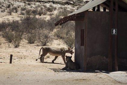 Sudáfrica mata a tiros a siete leones que escaparon de un parque nacional en el sur del país