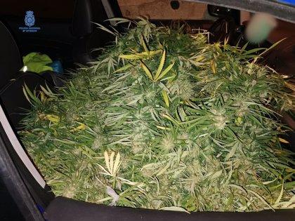 La persecución de un coche acaba con dos detenidos al descubrir plantas de marihuana en el interior
