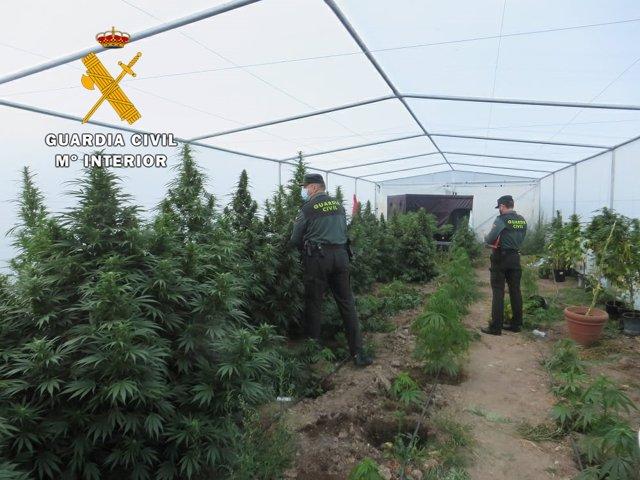 Plantación de marihuana en Aldearrodrigo.