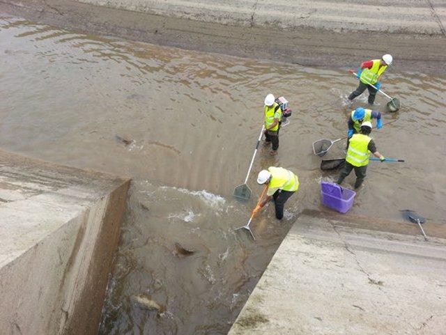 Imatge del rescat de peixos que s'està fent abans de buidar els canals de Balaguer, Térmens i Lleida, el 2 d'octubre del 2020. (Horitzontal)