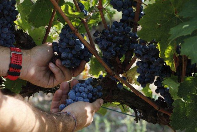Pla detall del raïm a les vinyes d'Abadal. Imatge de l'1 d'octubre del 2020. (Horitzontal)