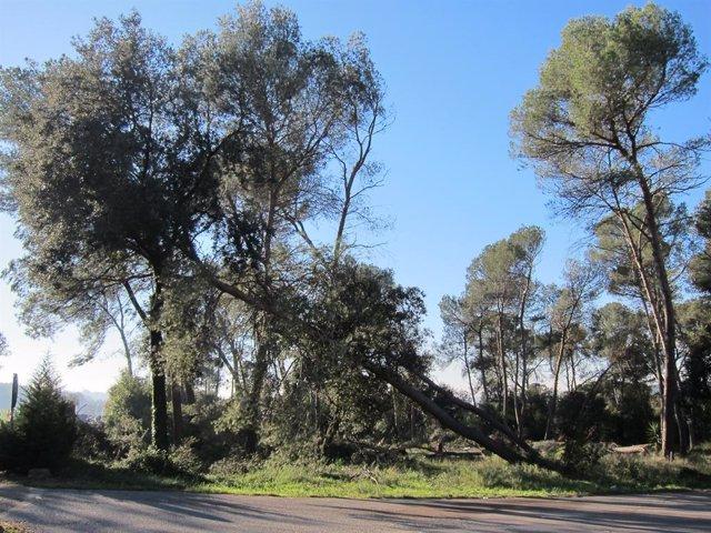Foto d'arxiu d'un pi caigut per un temporal de vent a Vallès Oriental, a Catalunya.