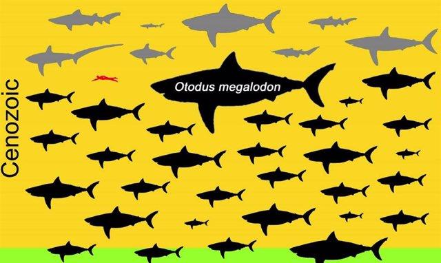 El extinto Megalodón excede las tablas corporales de los tiburones