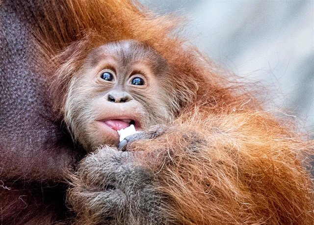 "10 September 2020, Hamburg: The orangutan baby ""Batu"" hangs in his mother's arms while eating coconuts in the enclosure of the zoo in Hagenbeck. Photo: Axel Heimken/dpa"
