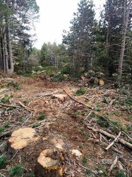 Pla obert on es veuen arbres talats en un bosc de Ger de Cerdanya. Imatge facilitada per l'Associació de Naturalistes de Girona el 8 d'octubre de 2020 (Vertical).