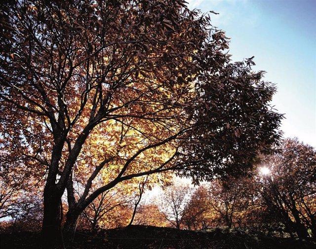 Árbol castaño en la provincia de Málaga en otoño