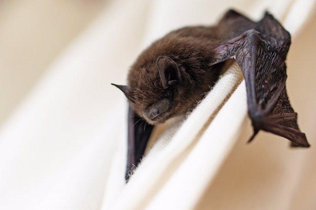 Descubiertos los primeros parientes del virus de la rubeola en murciélagos de Ug