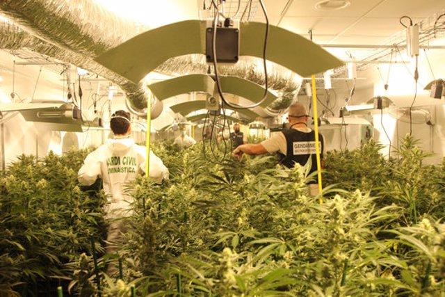 Pla mitjà d'una de les plantacions de marihuana que van trobar els Guàrdies Civils i els gendarmes aquest dijous 8 d'octubre de 2020. (Horitzontal)
