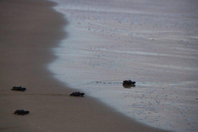 Pla obert de quatre cries de tortuga babaua dirigint-se cap a l'aigua del mar a la platja de la Pineda, a Vila-seca (Tarragonès), el 9 d'octubre del 2020. (Horitzontal)