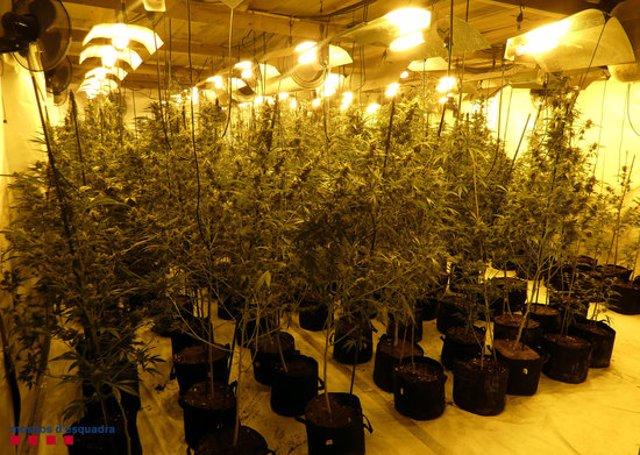La nau industrial amb 1.204 plantes de marihuana als Garidells, a l'Alt Camp (Horitzontal).