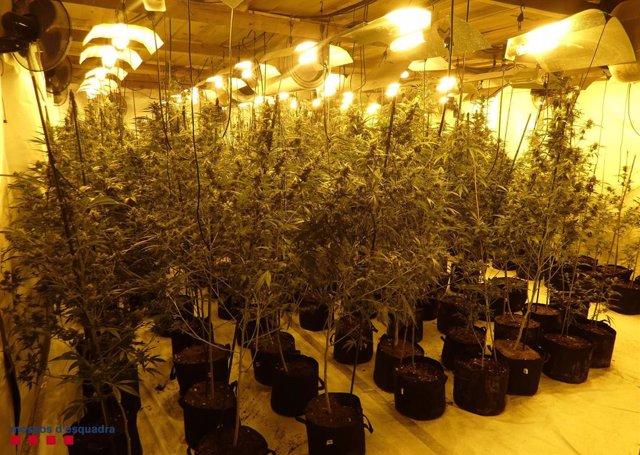 Desarticulen un grup criminal especialitzat en el cultiu de marihuana a Tarragona