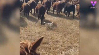 Dos carlinos hacen de perros de pastoreo con un rebaño de vacas y cabras