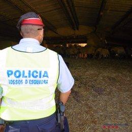 Pla mitjà d'un agents dels Mossos en la inspecció a una explotació ramadera de Xerta denunciada per les males condicions de les instal·lacions i dels corders. Imatge de l'11 d'cotubre del 2020 (horitzontal)