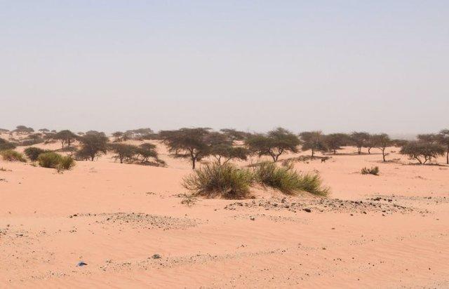 Unos 1.800 millones de árboles pueblan el Sáhara Occidental y el Sahel