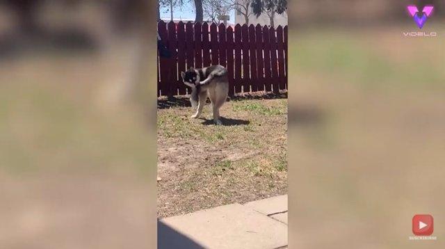 Este perro juega a perseguir su propia cola y termina en el suelo