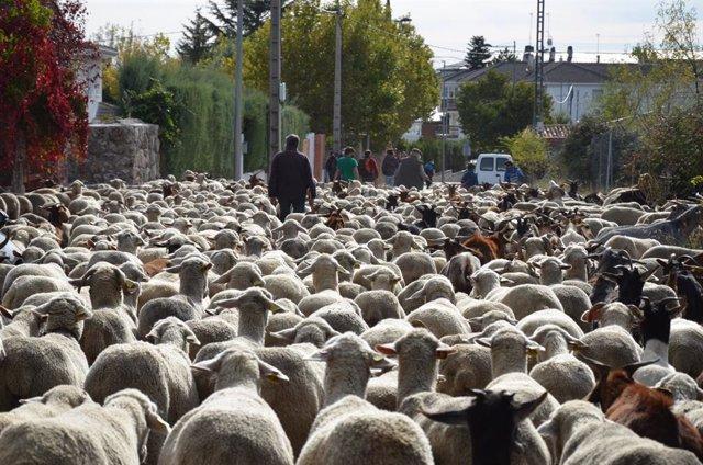 El rebaño trashumante de ovejas merinas recorre la zona noroeste pero no pasa por la capital para evitar aglomeraciones