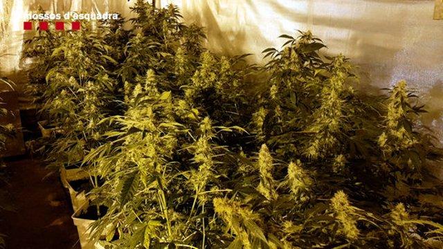 Una de les plantacions de marihuana del grup criminal desarticulat a Catalunya pels Mossos d'Esquadra (Horitzontal).