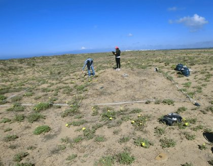 Investigadores descubren que un uso eficaz del agua permite a una planta invasora desplazar a una autóctona en la costa